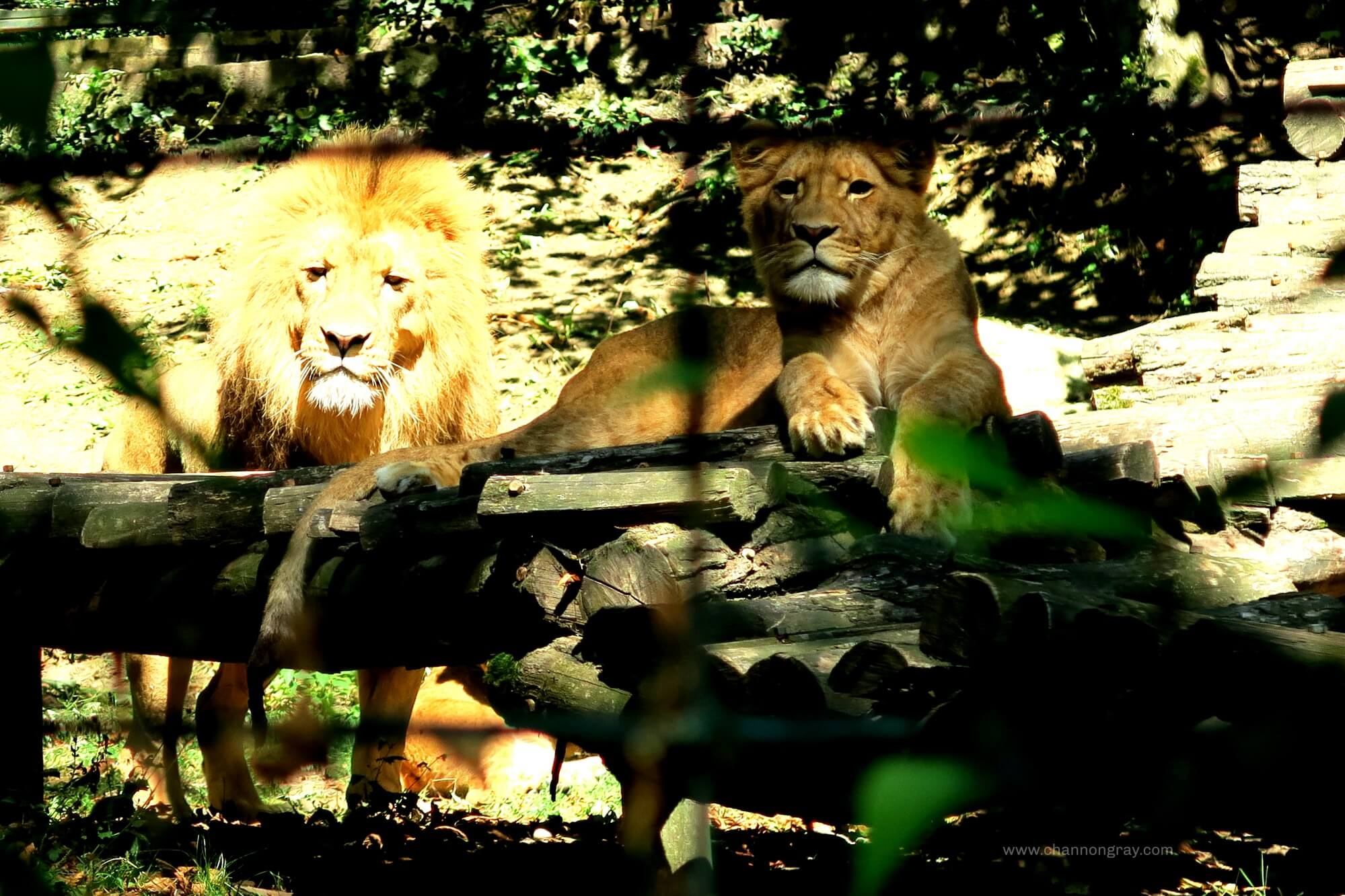 Lion at ZooParc Du Beauval